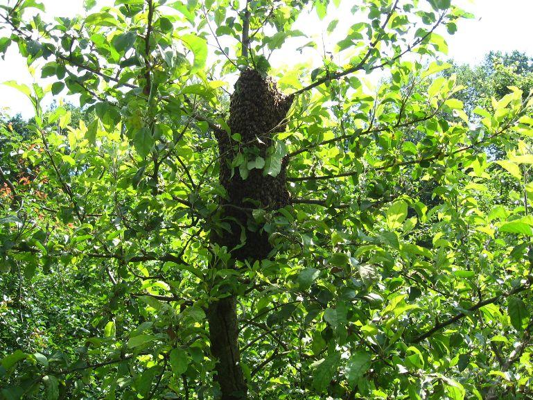 Bienen im Apfelbaum